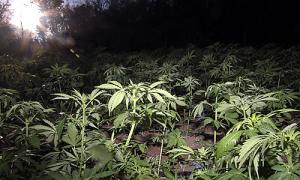 dar_marihuana_24112015